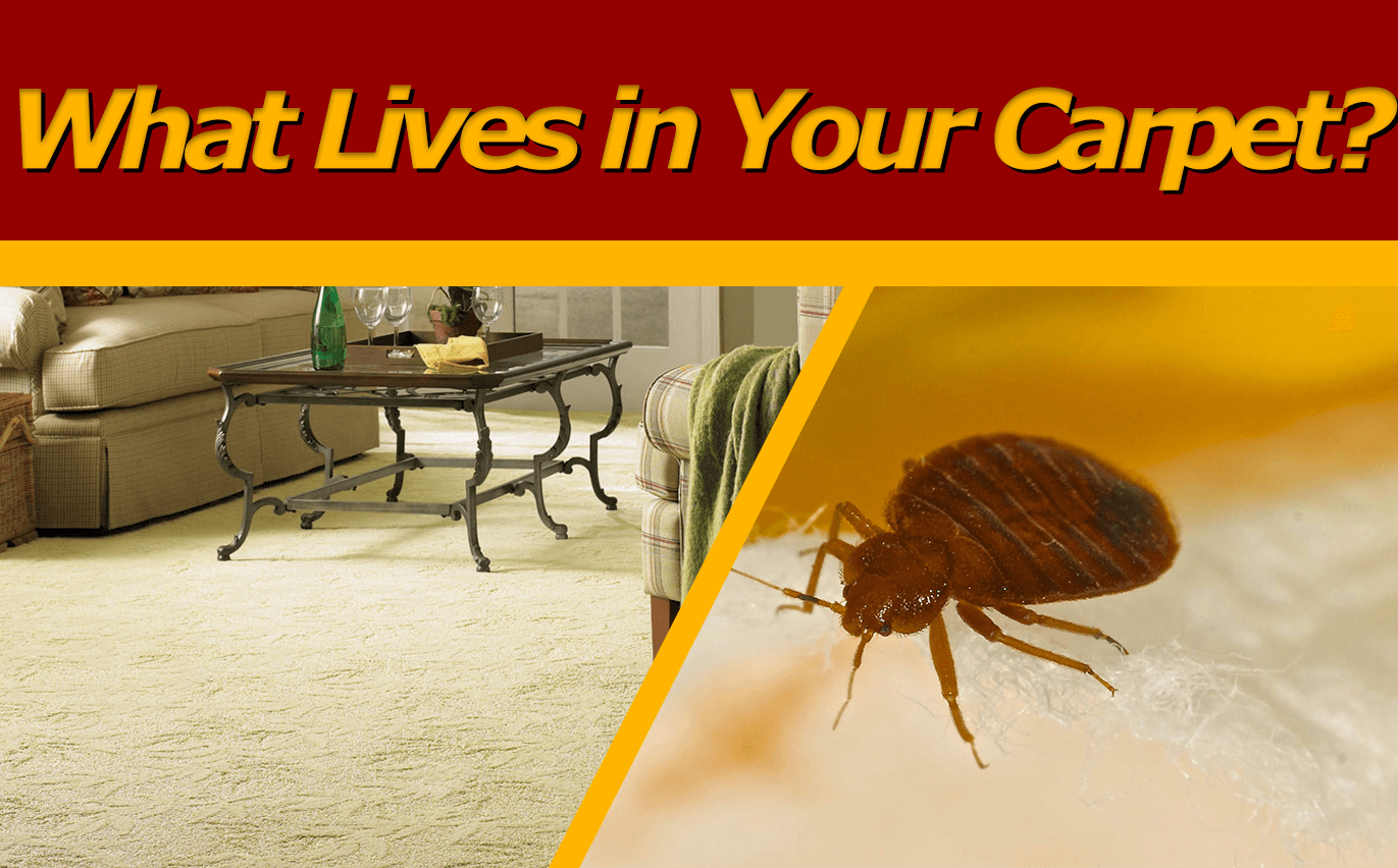 What Lives In Your Carpet And Furniture